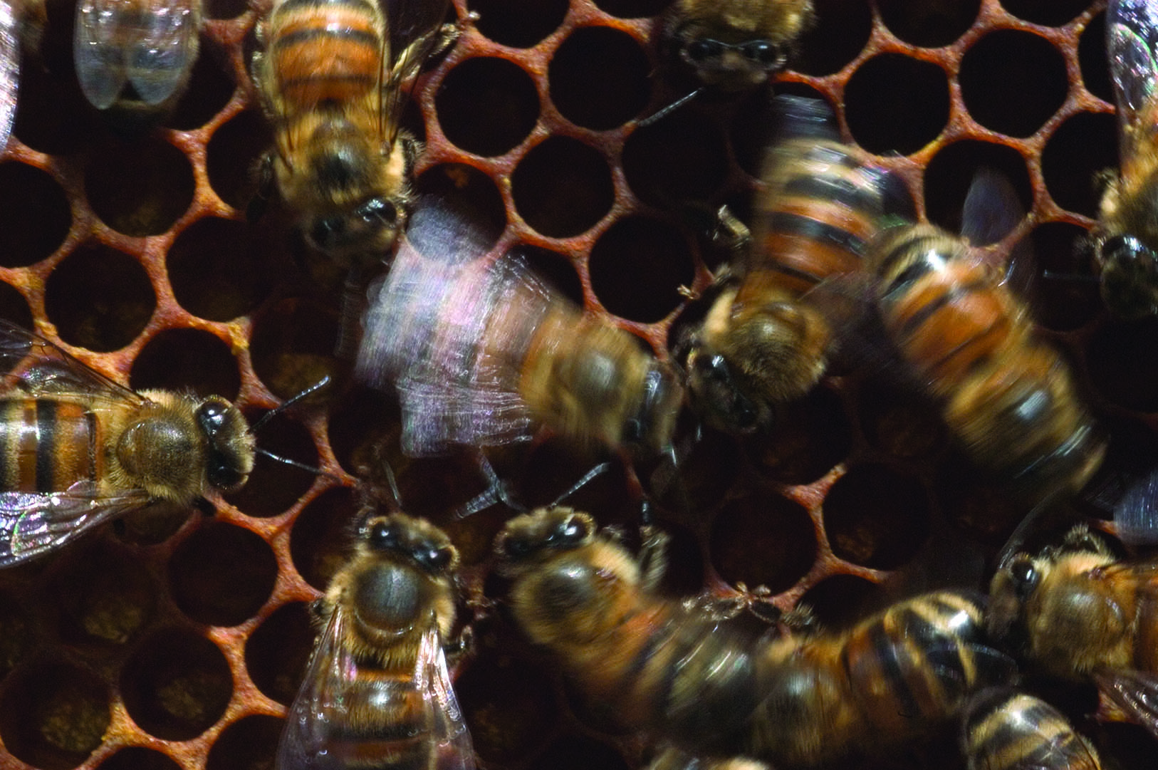 The complex life of the honey bee purdue pesticide programs returning foragers relay direction and distance information to other bees this worker is vibrating so rapidly while performing the waggle dance that her xflitez Images