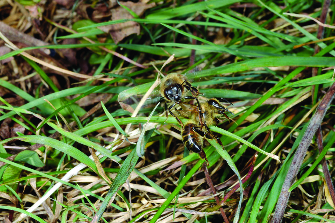 The complex life of the honey bee purdue pesticide programs an undertaker bee transports a dead or dying bee away from the hive undertakers often fly off with dead or diseased bees xflitez Images