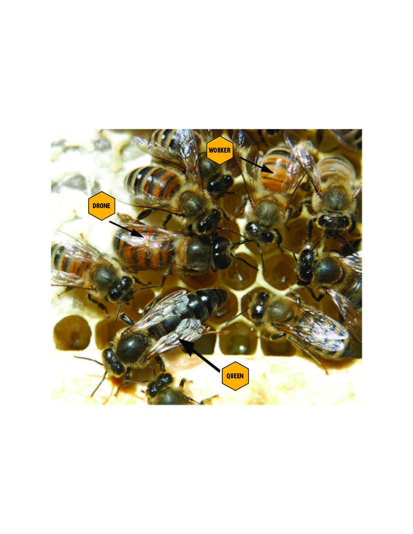 The complex life of the honey bee purdue pesticide programs honey bees have distinct castes the much longer abdomen of the queen differentiates her from other females in the colony drones males are characterized xflitez Images